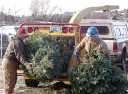 Chipping of Christmas trees